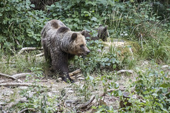 IMG_6506 (Branko.Hlad) Tags: medvedka bears gozd narava živali animals