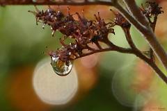autumn colours (jehazet) Tags: waterdrops druppels herfst autumn rodgersiaaesculifolia