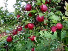 Red apples - EMPIRE (Patchwork Daily Desire) Tags: fall apple farm family trees appletrees summer sky sun sweet leaf patchworkdailydesire