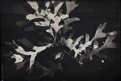 Fall(en)-11589 (Poetic Medium) Tags: nature acorns oak stilllife blackandwhite kitcamghostbird multipleexposure snapseed ipod