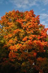 Piękno Jesieni (jacekbia) Tags: europa polska poland podlasie białowieża jesień autumn kolory colors czerwony red niebieski blue drzewa tree liście leaves przyroda nature natura