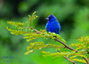 Indigo Bunting (dbking2162) Tags: birds bird nature nationalgeographic wildlife green blue bunting animal outside outdoor tennessee