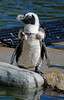 Not Quite Scarf Weather (MTSOfan) Tags: penguin molting scarf