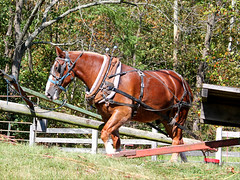 IMG_0042 (sally_byler) Tags: horse drawn sorghum thrasher farm oldfashioned ohio fall outdoors outside nature animal