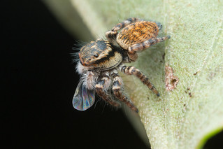 Salticidae. 3-4mm