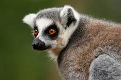DSC_6154 (TDG-77) Tags: nikon d750 tamron 150600mm vc ring tailed lemur animal yorkshire wildlife park