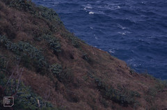 Wedge-tailed shearwater colony. Many thousands. (Mary Gillham Archive Project) Tags: 63146 bird hawaii planttree puffinuspacificus water