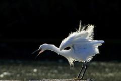 _DSC2732 - Little Egret (steve R J) Tags: little egret two tree island ewt reserve leigh sea essex birds british backlighting plumage