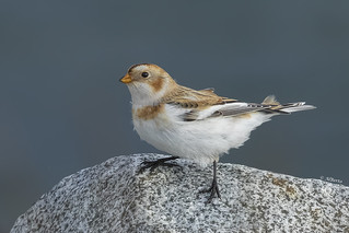 Snow Bunting / Bruant des neiges