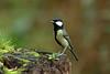 Great tit (david.england18) Tags: greattit smallbirds tits localpark queensparkheywood canon7d canonef300mmf4lisusm birdsuk
