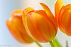 Flowers-8 (niekeblos) Tags: tulip tulips flower flowers nature canon60d macro bokeh
