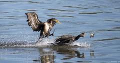 Nobody Eats! (swmartz) Tags: outdoors october nikon nature wildlife ducks cormorants conowingo dam