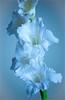 ... Gladiolator ... (Device66.) Tags: texturas device trabajosencasa ramo coldtones fríos tonos gladiolo