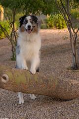 Ready for Adventure (Jasper's Human) Tags: jasper aussie australianshepherd tree pose happy adventure