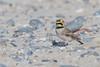 Ohrenlerche (Eremophila alpestris) (Matthias.Kahrs) Tags: ohrenlerche eremophila alpestris shore horned lark vögel vogel bird birds tier matthiaskahrs natur outdoor wildlife bodennähe tiefenschärfe schärfentiefe canon 5d canoneos5dmarkiii canon5dmarkiii tamron 150600mm tamronsp150600mmf563divcusd tamron150600mm matthias kahrs