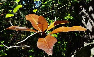 Swamp Magnolia Leaves