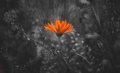 Alien world bloom (Dhina A) Tags: sony a7rii ilce7rm2 a7r2 minolta rf rokkorx 250mm f56 mirror reflex minolta250mmf56 md prime rokkor bokeh flower selective color