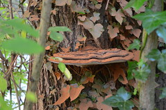 Stuck On You (dhcomet) Tags: welwyn gardencity herts hertfordshire nature autumn fall park stanborough lakes fungus fungi bracket spore