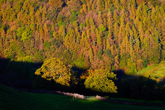 Trees on the Turn (Explored) (Joe Hayhurst) Tags: autumn bowland d610 england lancashire landscape morning nikon sunrise