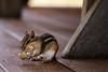 Sunny Hill Resort (Katherine Ridgley) Tags: ontario northernontario sunnyhillresort camping cottage madawaskavalley madawaska barklake summer chipmunk rodent animal