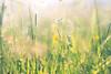 In the evening light (marcmyr) Tags: light soft green nikon d5200 nikkor 50mm f18 bokeh flower nature natur