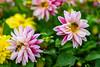 Mahlzeit (Gorky1985) Tags: flowers flower bee volksgarten wien vienna colors cosic farbe blumen austria garden garten goran nikon nikkor 30mm d5300 18 stadt city urban park