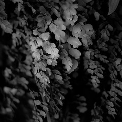 In Canyons 130 (noahbw) Tags: d5000 dof nikon utah zionnationalpark abstract autumn blackwhite blackandwhite blur bw canyon cliffs depthoffield leaves light monochrome natural noahbw shadow square vines incanyons