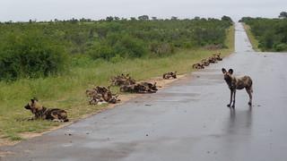Roadside Stop - African Wild Dogs