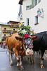 Cattle in costume (kube414) Tags: cows cattle kühe rinder rauris salzburg brauchtum tradition bauernherbst geschmückt almabtrieb christentum