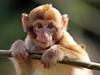 barbary macaque Apenheul BB2A2737 (j.a.kok) Tags: berberaap barbarymacaque barbarymonkey animal aap apenheul mammal monkey europe europa afrika africa zoogdier dier