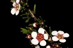 Micromyrtus ciliata (andreas lambrianides) Tags: micromyrtusciliata myrtaceae fringedheathmyrtle australianflora australiannativeplants whiteflowers australianwildflowers nsw vic sa