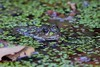 Grenouille verte indéterminée (Pelophylax sp.) - Bron - Parc départemental de Parilly (Rhône) France, le 12 octobre 2017 (Loïc Le Comte) Tags: bron parcdépartementaldeparilly grenouilleverte