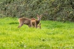 Roe Deer (warren hanratty) Tags: warrenhanrattyphotography tortworth wildlife gloucestershire deer roedeer