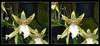 Longwood Gardens Flowers 15 - Parallel 3D (DarkOnus) Tags: pennsylvania bucks county panasonic lumix dmcfz35 3d stereogram stereography stereo darkonus longwood gardens flowers scenic scenery flower botanical garden orchid orchids macro parallel ttw