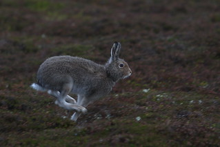 Mountain Hare in the Rain