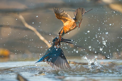 Kingfighter (parman31) Tags: martinpêcheurdeurope alcedoatthis commonkingfisher coraciiformes alcédinidés