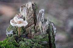 Vergänglichkeit - Totholz als Pilzlebensraum (AchimOWL) Tags: wald outdoor pilz schärfentiefe natur nature lumix dmcgh5 gh5 mushroom fungi flora makro macro wood totholz vergänglichkeit ngc wildlife