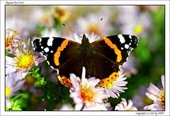 Maxxum70_T90_KCP200_24 (mikre_me) Tags: dyxum dyxumonethird film filmchallenge maxxum70 tamron9028 kodakcolorplus200 backyard backyardsession butterfly