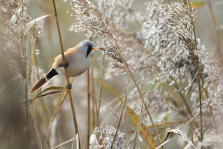 My first Bearded Reedling