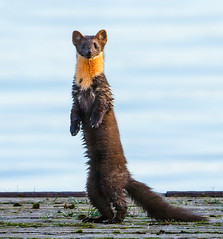 Marten (tods_photo) Tags: ifttt 500px trees lake forest beautiful animal long wild curious rare