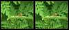 Where's the Dung?Fly - Crosseye 3D (DarkOnus) Tags: pennsylvania buckscounty panasonic lumix dmcfz35 3d stereogram stereography stereo darkonus closeup macro insect dungfly dung scathophaga stercoraria yellow crossview crosseye