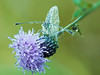 Green-veined white (pen3.de) Tags: wildlife falter schmetterling blume blüte distel stengel halm grün blau diagonal makro tropfen tautropfen fühler rapsweisling focusbkt stack morgens wiese