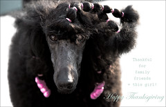thankful for 41/52 (- Renee -) Tags: standardpoodle ella 2017 happythanksgiving 52weeksfordogs