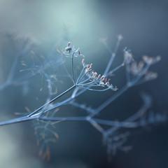 Seed (aveyardphotography) Tags: seed plant nature light soft bokeh focus blue subtle