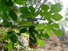 *Ficus carica, EDIBLE FIG. (openspacer) Tags: ficus fig jasperridgebiologicalpreserve jrbp moraceae nonnative riparian tree