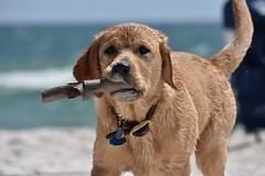 Beach Dog (Hollingsworth18) Tags:
