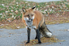 Fall Coat (marylee.agnew) Tags: red fox coat fall canine nature beauty young animal wildlife