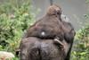 2017-10-10-12h52m26.BL7R4982 (A.J. Haverkamp) Tags: canonef100400mmf4556lisiiusmlens shae shindy amsterdam noordholland netherlands zoo dierentuin httpwwwartisnl artis thenetherlands gorilla sindy pobrotterdamthenetherlands dob03061985 pobamsterdamthenetherlands dob21012016 nl
