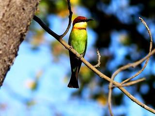 Chestnut-headed bee-eater - Himalayas.