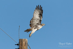 Juvenile Red-tailed Hawk launch
